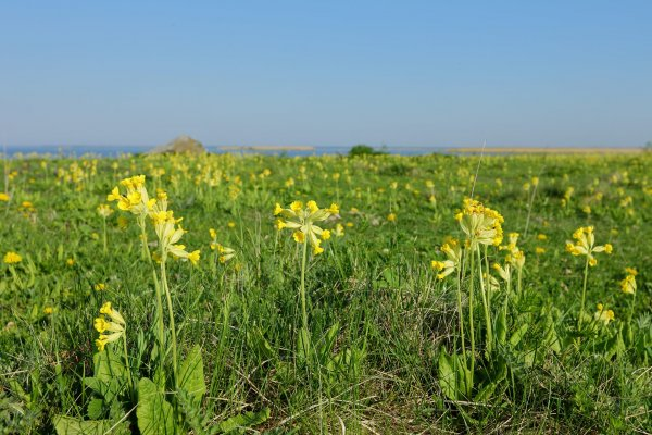 COST Action Conserve Plants - This Spring Europe is Looking for Cowslips